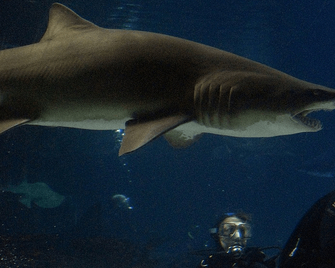 Discount price for Shark Diving Xtreme Swim at Manly SEA LIFE Sanctuary near Sydney, Australia