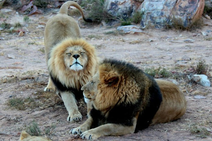 Save 10% Aquila Game Reserve near Cape Town South Africa see lions elephants rhinos