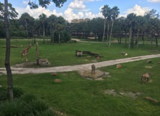 giraffe zebra disney animal kingdom lodge kidani village