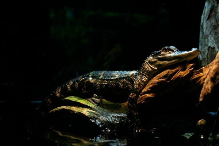Discount admission to Tennessee Aquarium see penguins alligators turtles & more