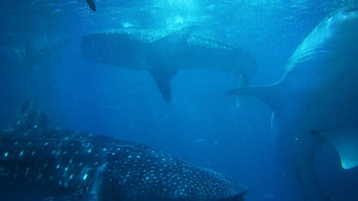 Philippine Whale Shark and Waterfalls Adventure discount price