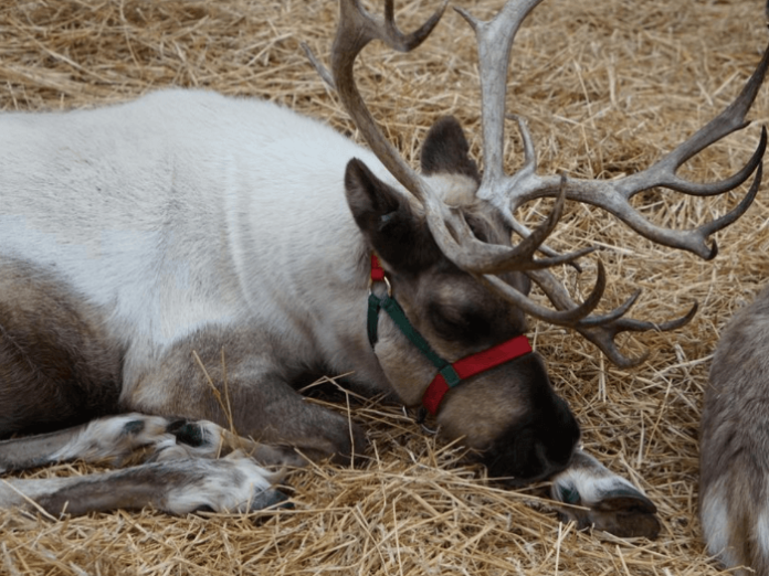 Save on Christmas event at Phoenix Zoo with live reindeer, Rudolph 4D movie, Christmas tree