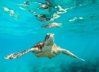 How to win a free stay at Cobbler's Cove in Barbados & swim with turtles