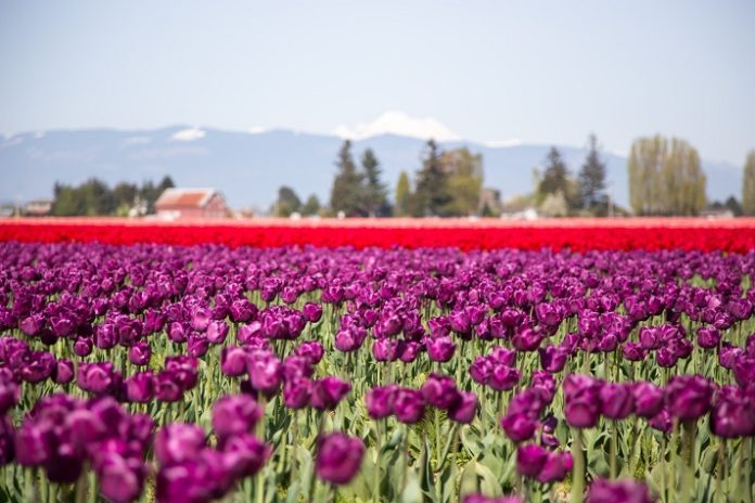 Save 70% on Skagit Valley Tulip Festival