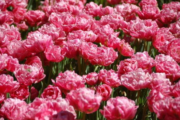 How to get a free trip to Amsterdam & a tulips tour